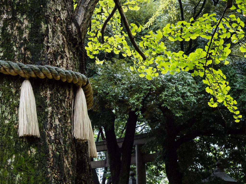 Gingko tree at Akasaka Hikawa shrine in Tokyo (Japan)