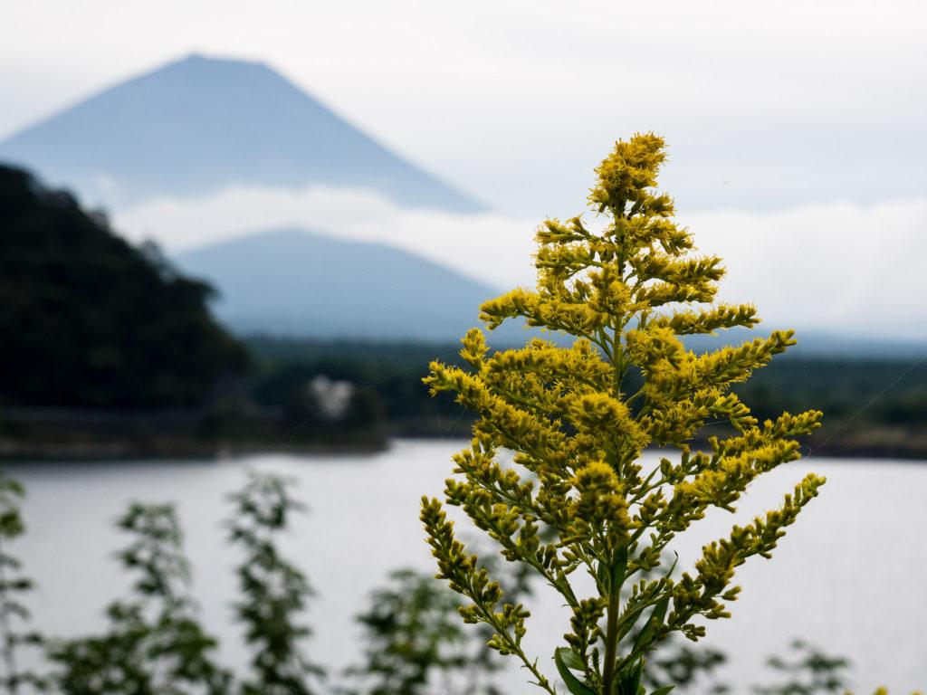 Гора Фудзи, вид с озера Сёдзико (Пять Озёр Фудзи)