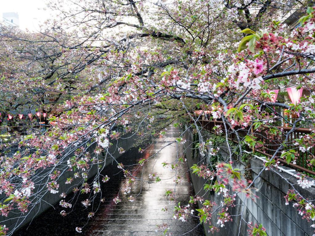 Сакуры на реке Мэгуро в Токио