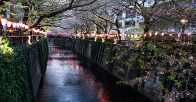 Отцветающие сакуры на реке Мэгуро в Токио
