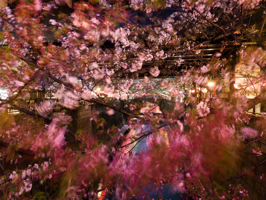 Cherry blossoms on Meguro river at night - Tokyo, Japan
