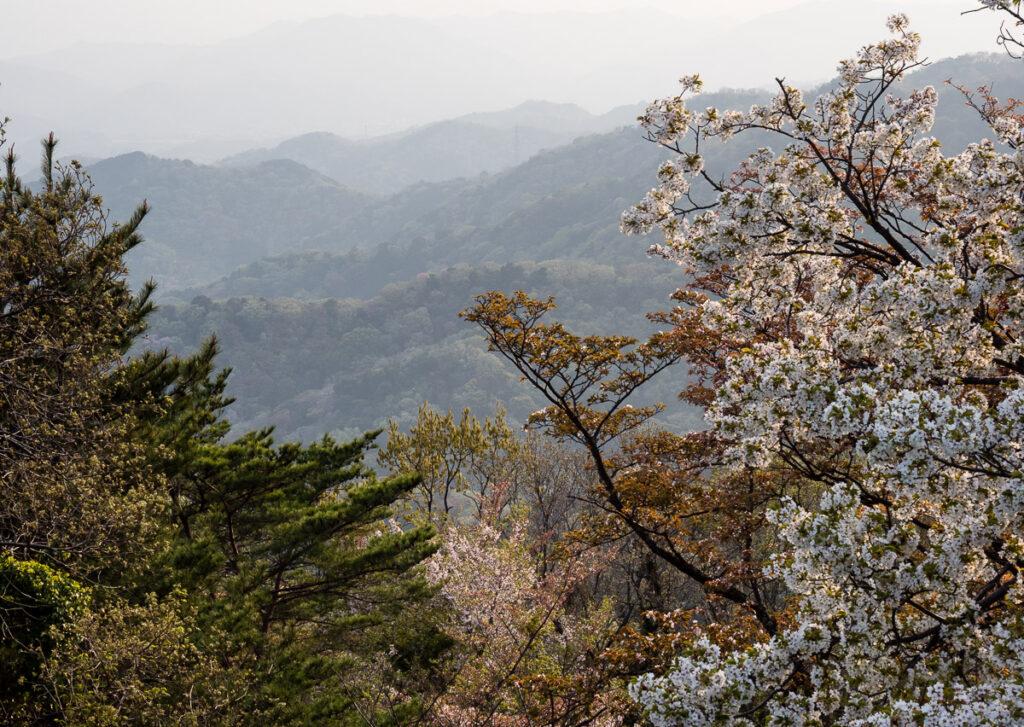 Цветущие сакура на горе Бидзан (г. Токусима)