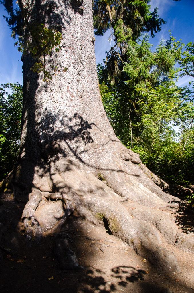 World's largest sitka spruce, Lake Quinault (Olympic peninsula, WA)