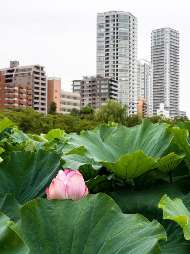 Shinobazu pond in Ueno park with lotus flowers blooming (Tokyo, Japan)