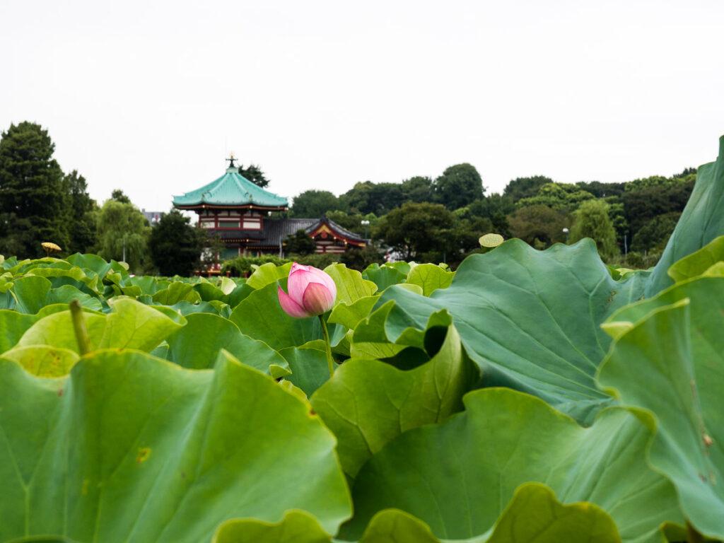 Benten-do in Ueno park with lotus flowers blooming on Shinobazu pond (Tokyo, Japan)